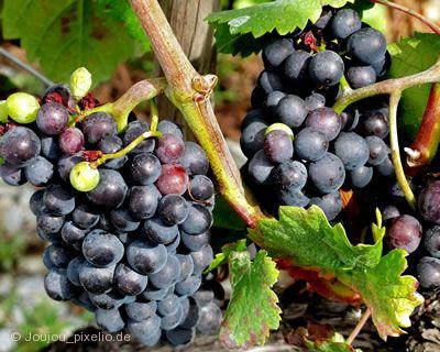 Bergsträßer Weinlagenwanderung Heppenheim